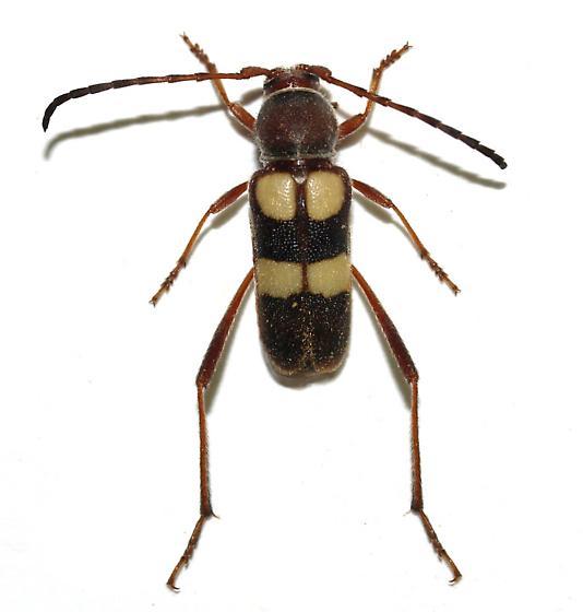 This year, a female - Aethecerinus latecinctus