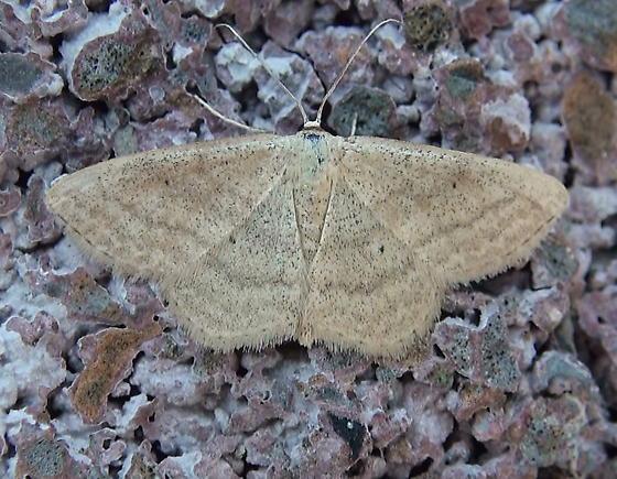 Geometridae: Scopula inductata? - Scopula inductata
