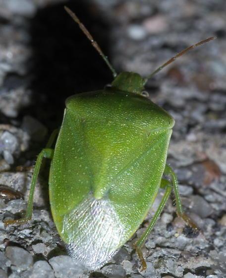 Green colored stink bug - Thyanta custator