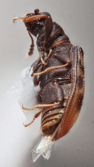 Latridiidae - Enicmus maculatus
