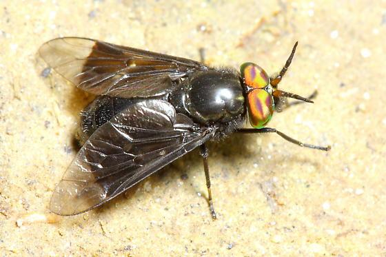 Deer Fly - Chrysops carbonarius - male