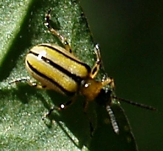 Leaf Beetle on Datura - Lema nigrovittata