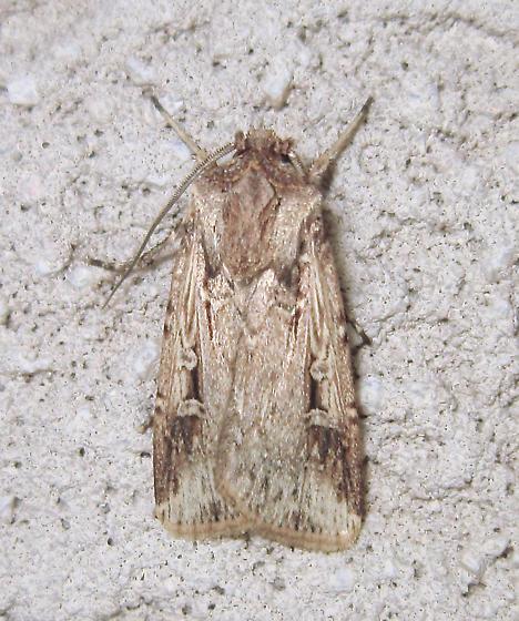 Subterranean Dart - Hodges #10664 (Feltia subterranea) - Feltia subterranea