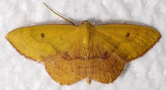 Semaeopus - Semaeopus ella