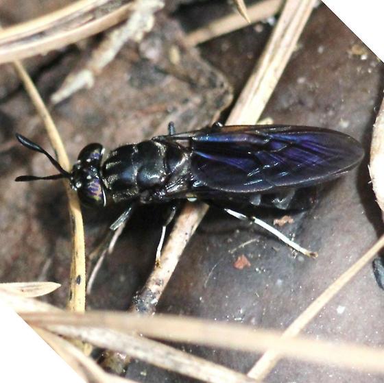 Fly - Black Soldier Fly -  Left Dorsal - Hermetia illucens