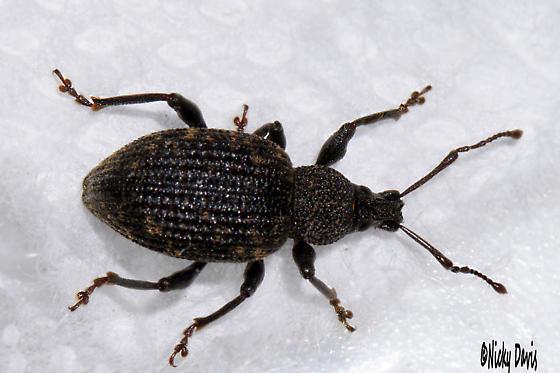 Weevil, unknown - Otiorhynchus sulcatus