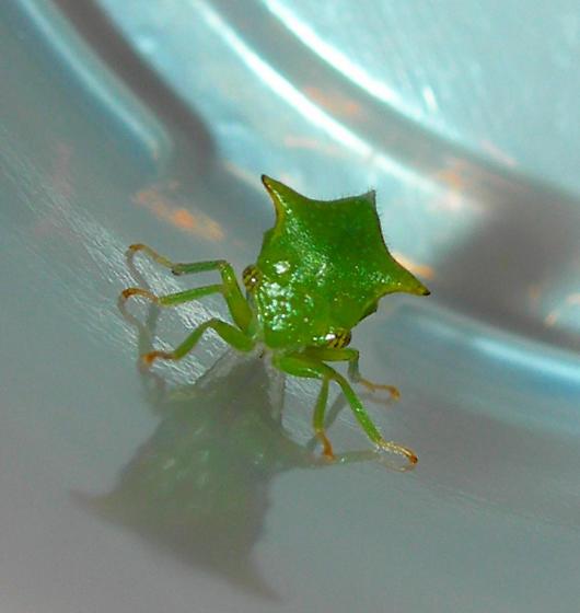 Green Leaf Looking Bug - Ceresa taurina