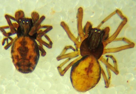 Emblyna cf. uintana male and subadult male - Emblyna uintana - male