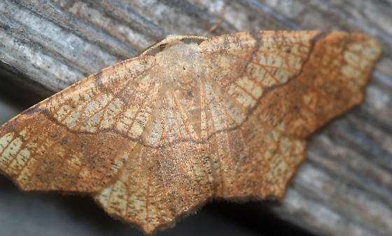 dead leaf mimic - Besma quercivoraria - male