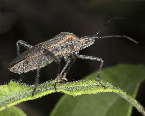 Unknown Bug - Phthiacnemia picta