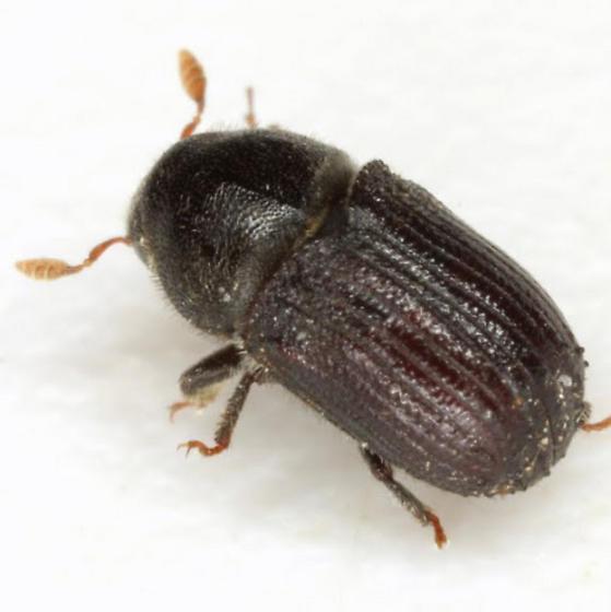 Phloeosinus serratus (LeConte) - Phloeosinus serratus