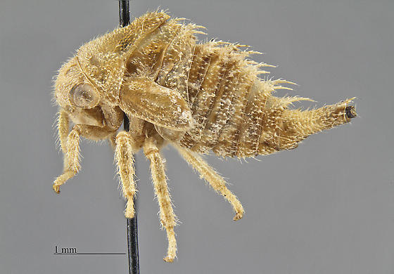 Homoptera Aetalionidae