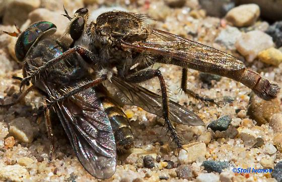 Robber fly with a prey - Proctacanthella - male