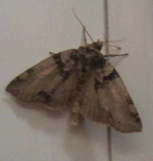 Gray brown moth (blurry pic) - Pseudothyatira cymatophoroides