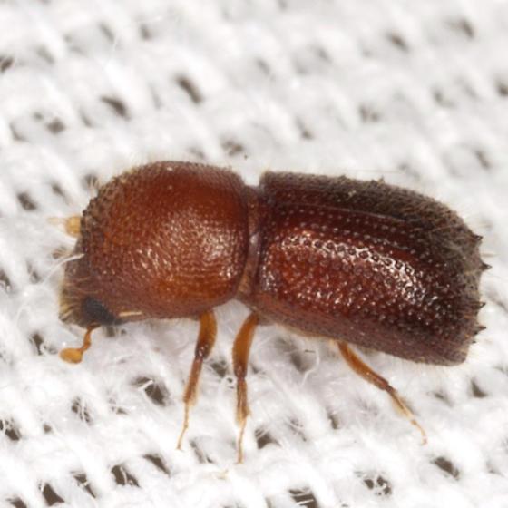 Bark Beetle - Ambrosiodmus lecontei