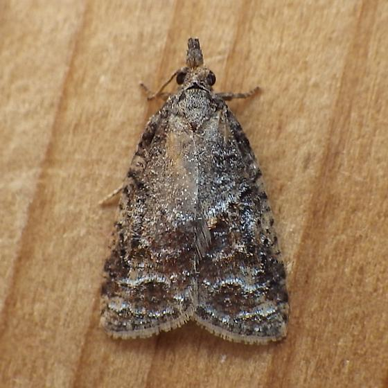 Tortricidae: Platynota idaeusalis - Platynota idaeusalis