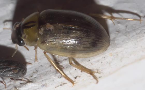 Water scavenger - Berosus infuscatus