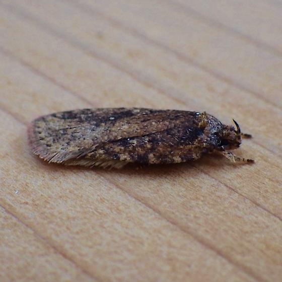 Elachistidae: Agonopterix pulvipennella? - Agonopterix pulvipennella