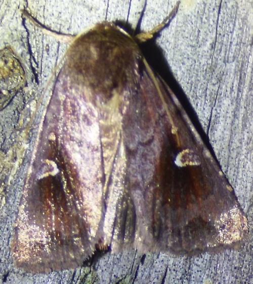 unknown moth - Iodopepla u-album