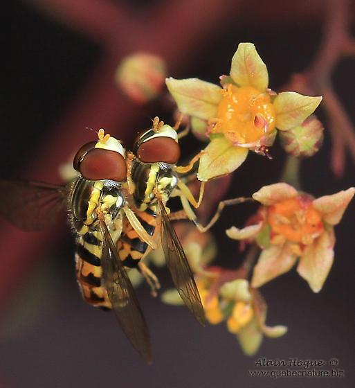 Syrphidae sp - Toxomerus geminatus