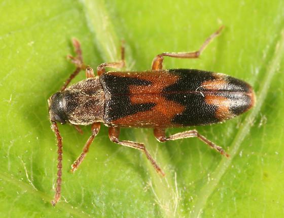 False Darkling Beetle - Hypulus simulator