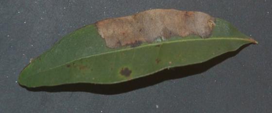 St. Andrews leaf miner on Quercus laurifolia SA198 2015 1 - Brachys