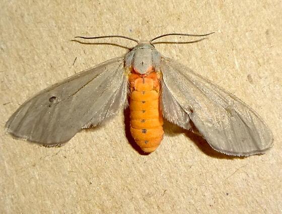 Pygarctia pterygostigma ? - Pygarctia murina - female