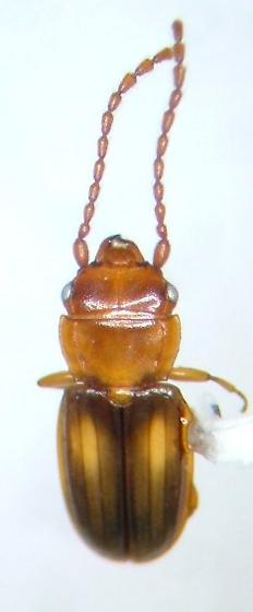 Laemophloeus 2 - Laemophloeus fervidus