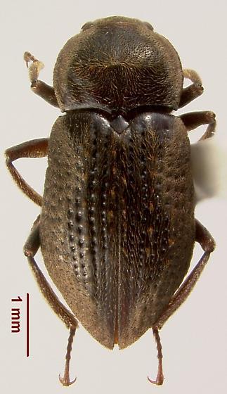 Helichus fastigiatus