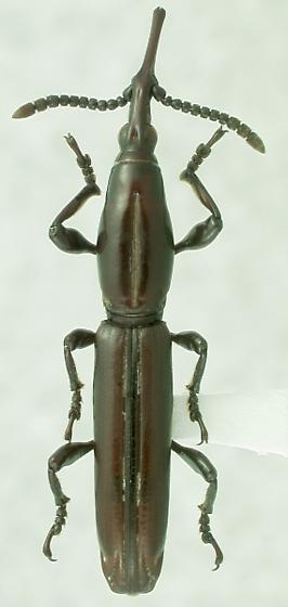 Paratrachelizus uncimanus