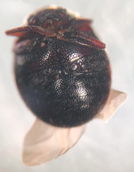 Unknown Coleoptera