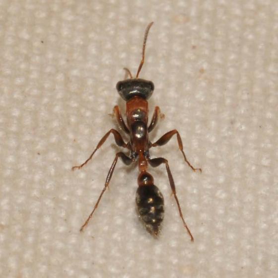 Arboreal Ant - Pseudomyrmex gracilis