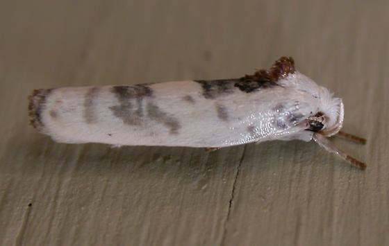 Antaeotricha leucillana