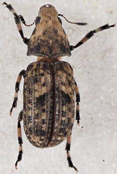 Anthribidae - Euparius marmoreus