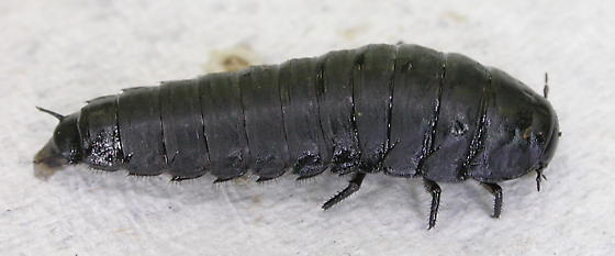 American Carrion Beetle Larva Necrophila Americana Bugguide Net