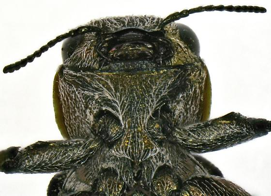 Chrysobothris lateralis