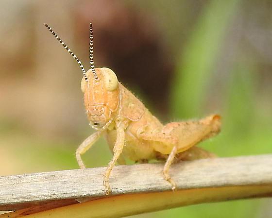 Acrididae  - Melanoplus