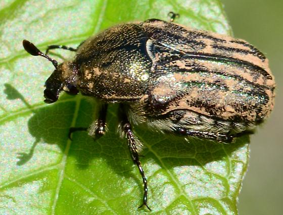 Chafer Beetle? - Euphoria