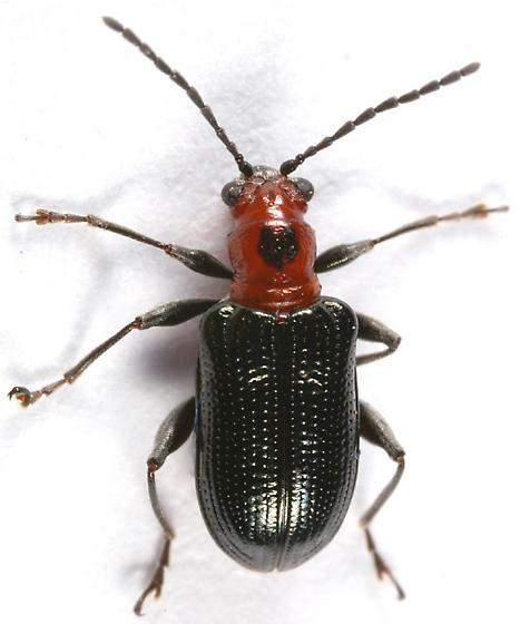 leaf beetle - Oulema sayi