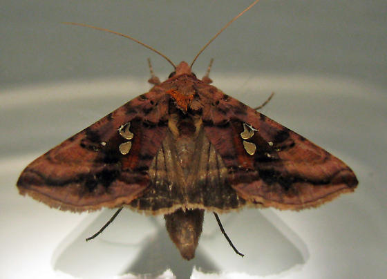 8911 Two-spotted Looper - Autographa bimaculata
