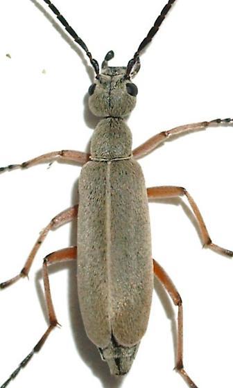 Epicauta sp. - Epicauta cupraeola - male