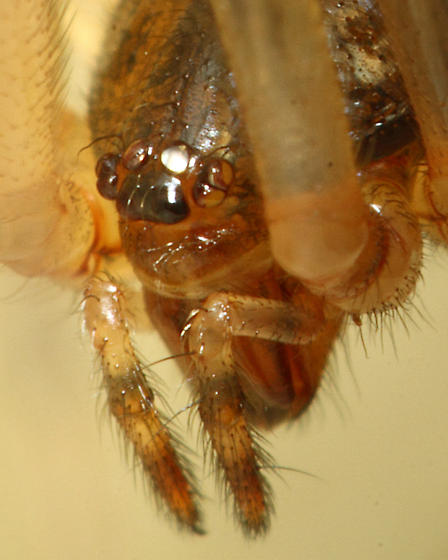 3:1 macro image of the front side of a house spider highlighting the eyes - Parasteatoda tepidariorum - female