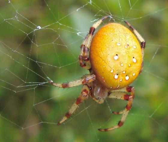 Pumpkin Spider? - Araneus trifolium - female