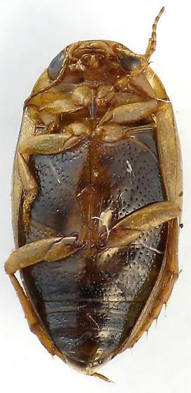 Hygrotus sp. - Coelambus nubilus