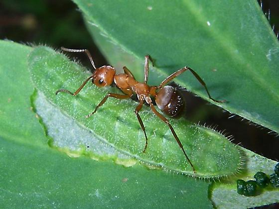 Ant Tending Karner Larvae - Formica