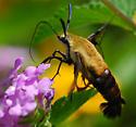 moth - Hemaris diffinis