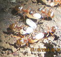 Ants - Aphaenogaster? - Formica neoclara