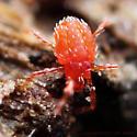 Red-Orange Mite, Larval