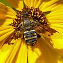 small bee fly - Exoprosopa