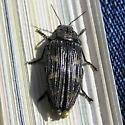 Beetle - id? - Buprestis nuttalli